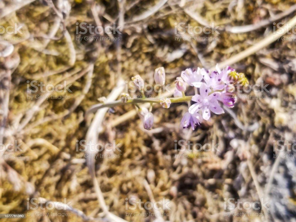 Otoño planta squill - foto de stock