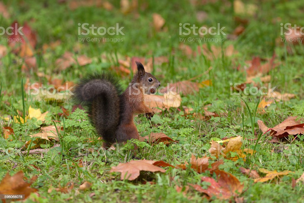 autumn squirrel royalty-free stock photo