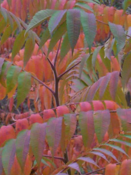 Autumn Sumac Leaves stock photo