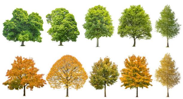 fondo blanco aislado de otoño verano árboles - árbol fotografías e imágenes de stock