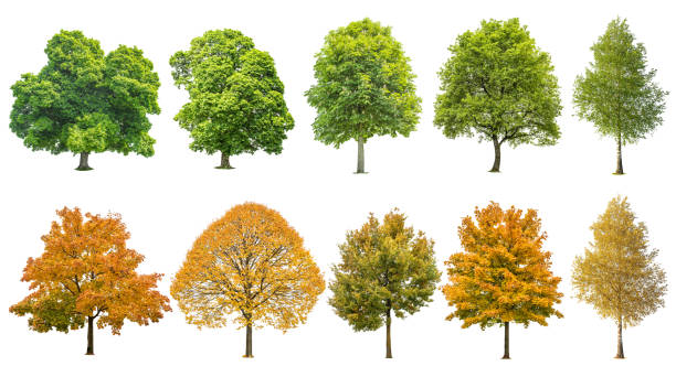 autumn summer trees isolated white background - tree stock pictures, royalty-free photos & images