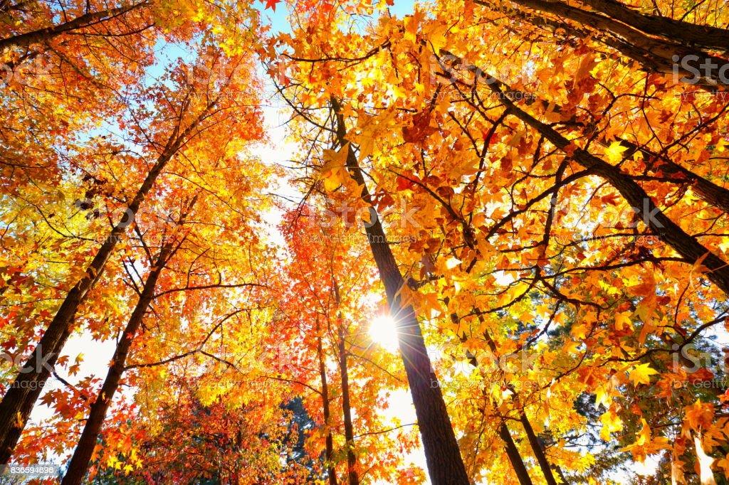 Autumn sun shining through a majestic maple tree stock photo
