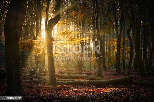 A forest with falling leaves during an early autumn morning. The sun shines brightly between the trees. The ground is covered in leaves and the leaves are colorful due to the time of the year.