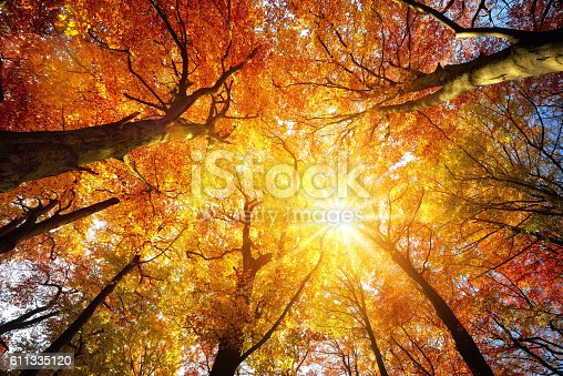 Autumn sun warmly shining through the canopy of beech trees with gold foliage, worm's eye view
