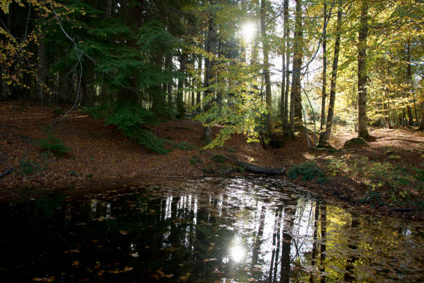 Autumn sun shining through trees and reflecting on a leaf covered pond stock photo