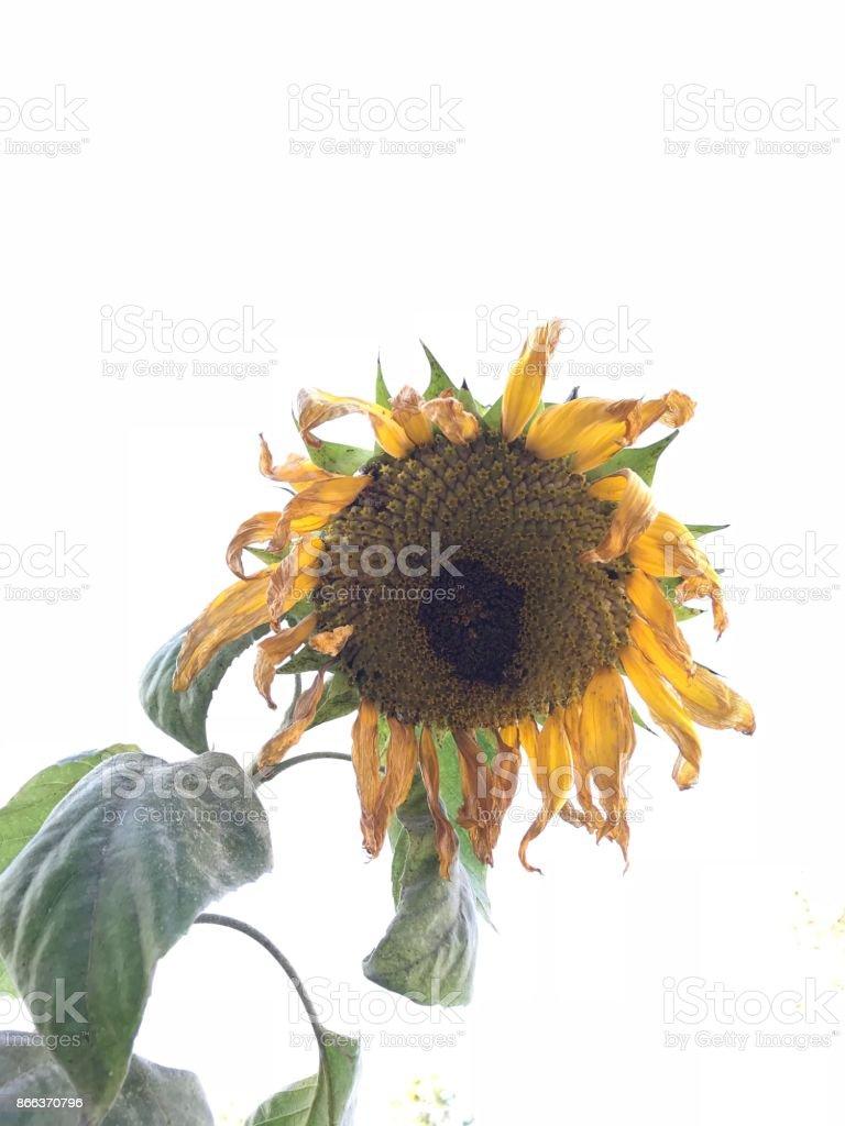 Autumn Sunflower stock photo