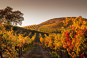 Autumn sunset in the vineyards. A view up a row of vines that are turning yellow and red. More rows of vines are in the background. A tree is off to the left. A darkening sky is in the background.