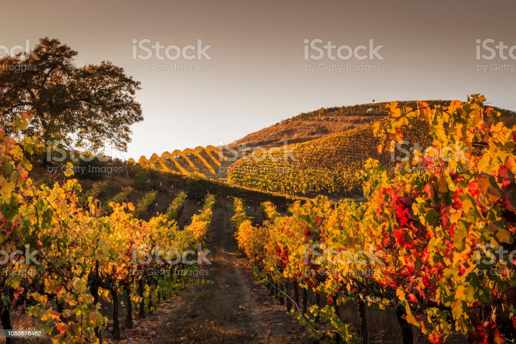 Autumn Sunset in a Hilly Vineyard stock photo