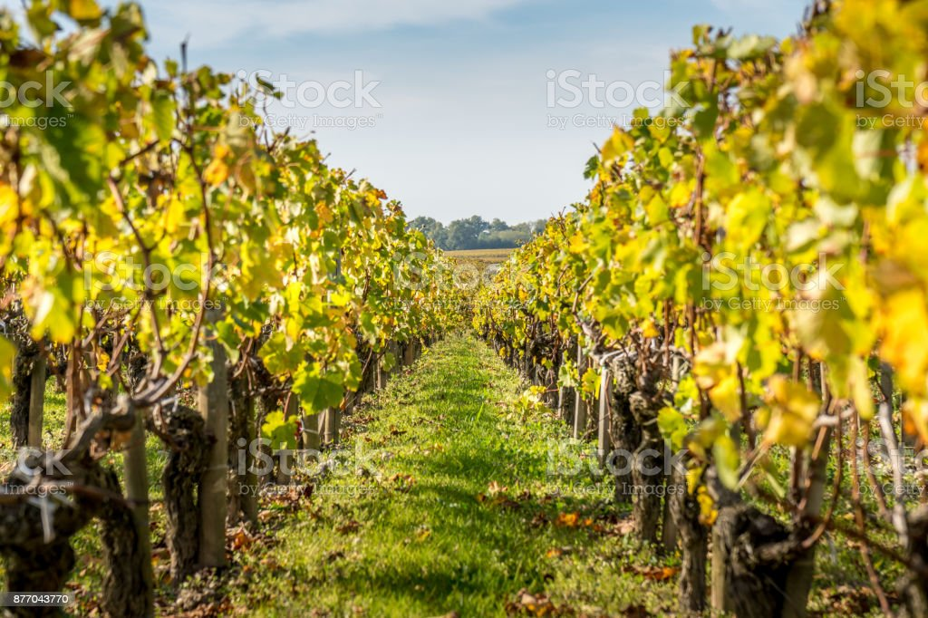 Autumn sunset on vineyards around Saint-Emilion with hills grapes and trees in Medoc region near Bordeaux France stock photo