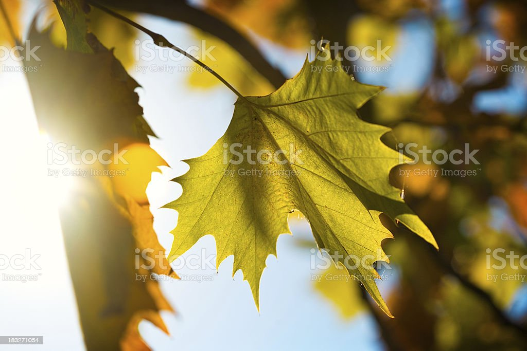 Autumn sycamore leaf stock photo
