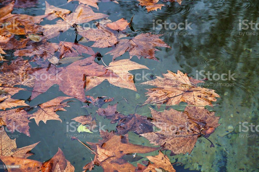 autumn sycamore leafs stock photo