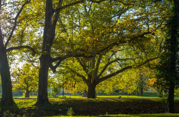 Autumn sycamore Autumn colors in the park sycamore tree stock pictures, royalty-free photos & images