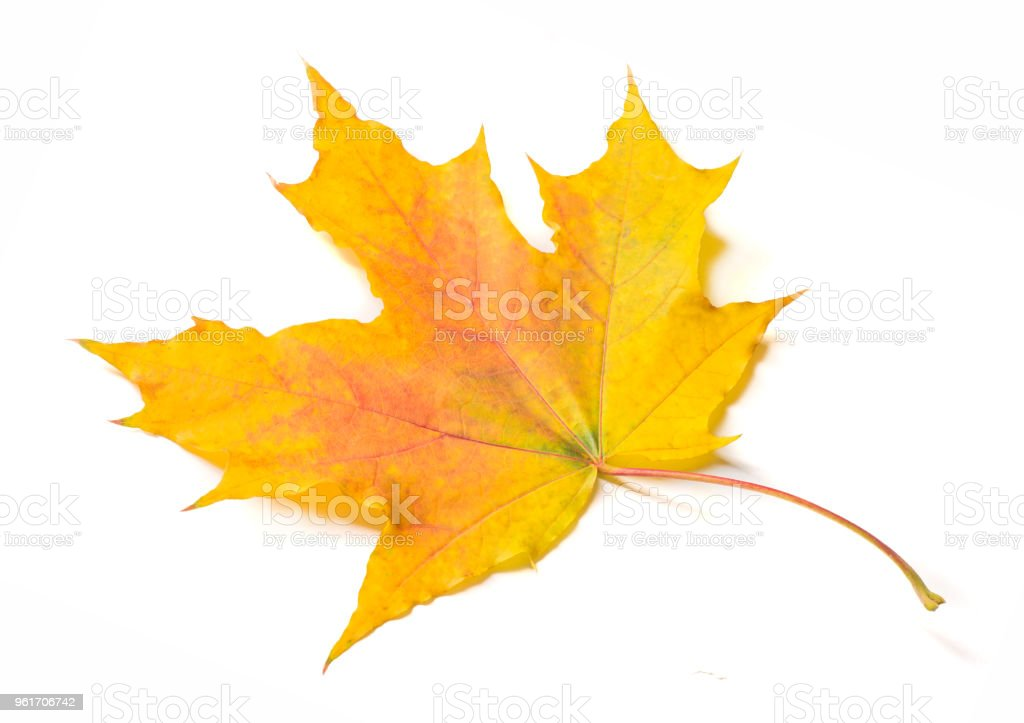 Autumn texture. Colorful maple leaves. The phenomenon is commonly called autumn colours or autumn foliage in British English and fall colors, fall foliage or simply foliage in American English. stock photo