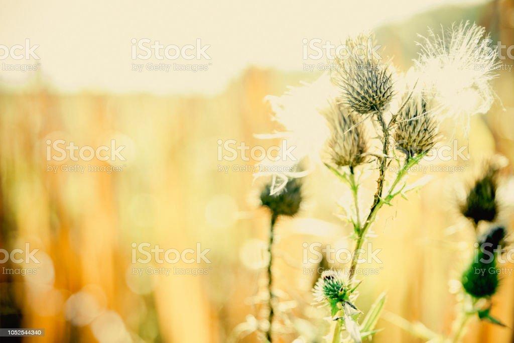 automne de chardon - Photo
