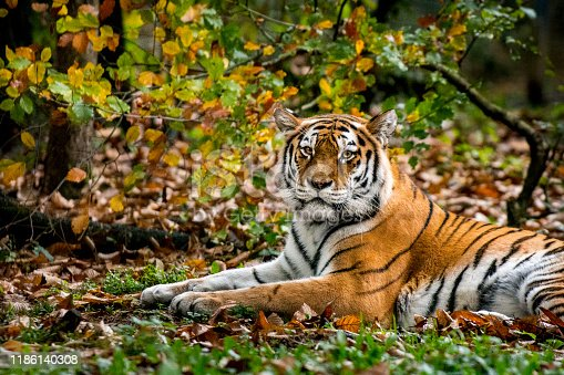 Close-up of tiger in the forest shows how its camouflage color and striped pattern works great in fall.