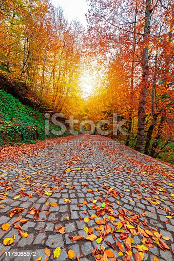 Autumn time. Yellow, red, orange, colorful leaves pouring from the tree. National Park. Uludag, Bursa, Turkey.