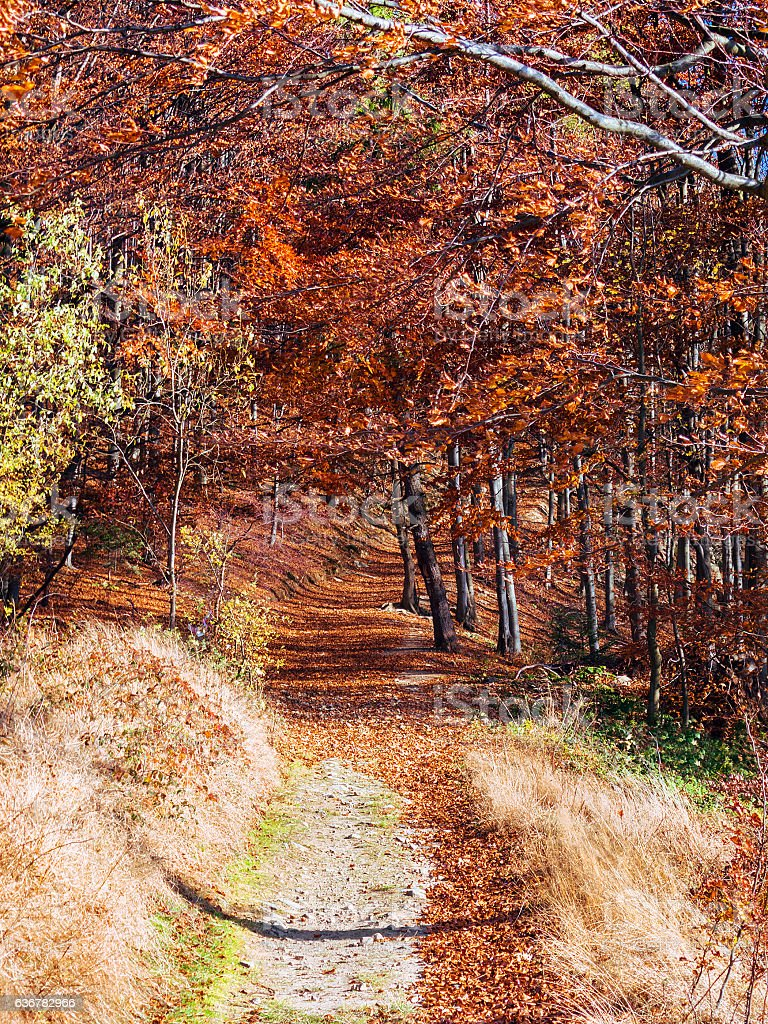 Autumn trail in forest in mountains. Sacz Beskids, Poland. stock photo