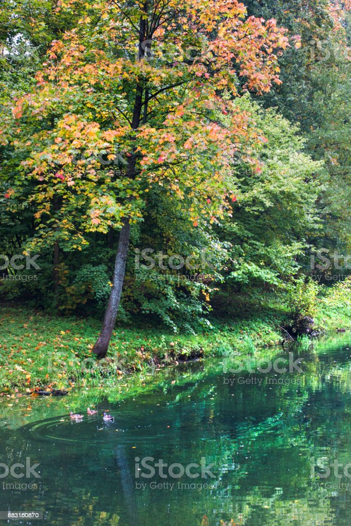 Autumn tree above green water in the forest. stock photo