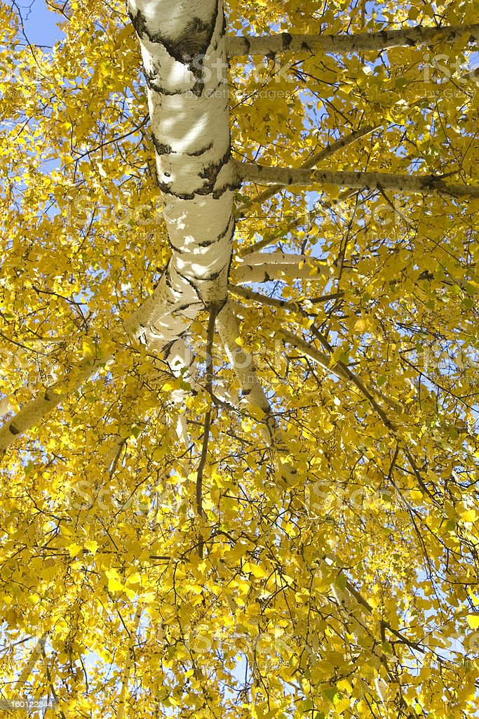 autumn  tree, birch stock photo