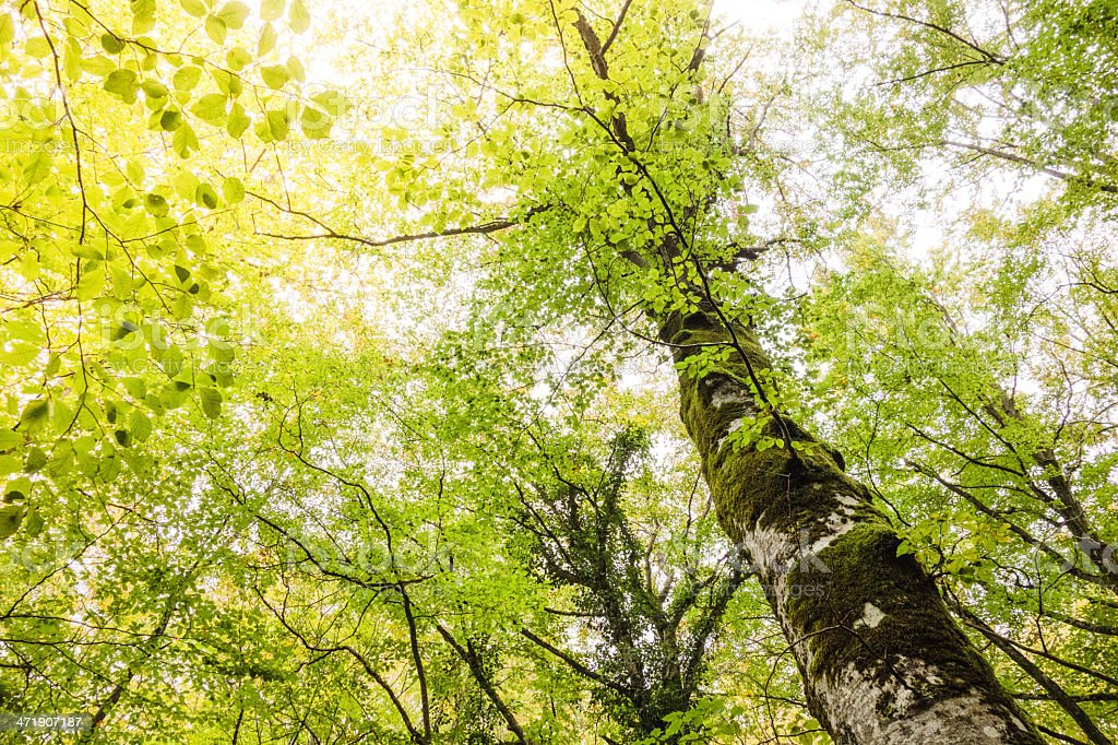Autumn, tree in the forest - low angle view royalty-free stock photo