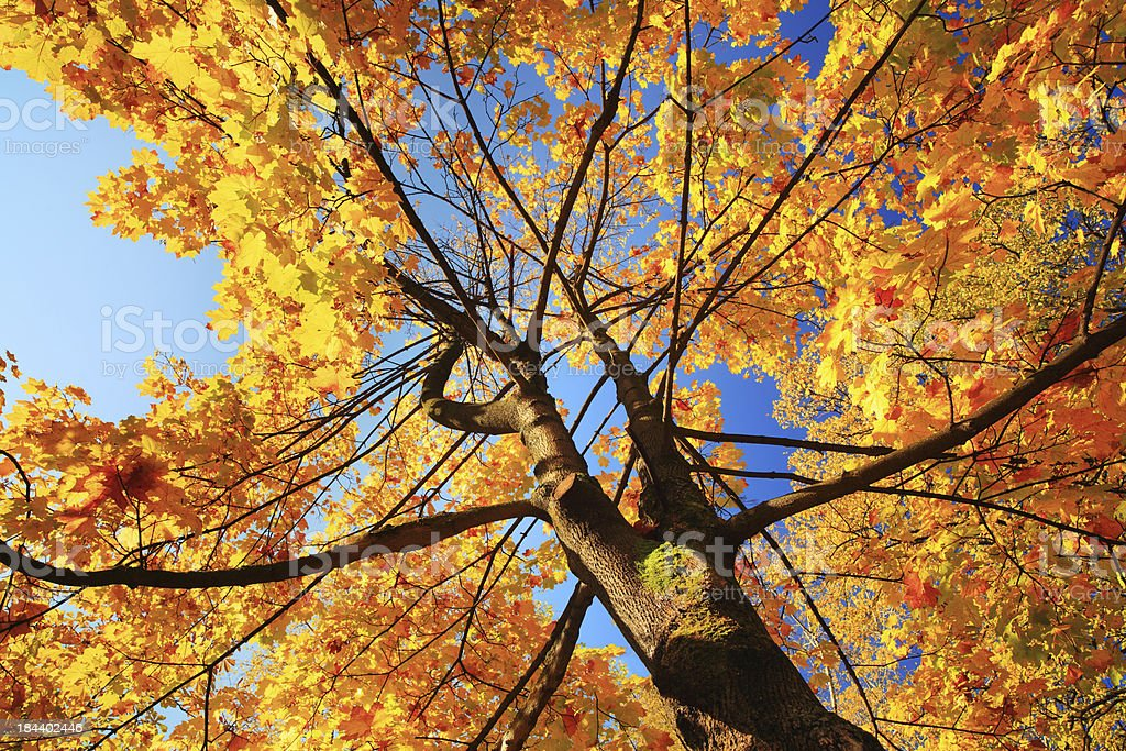 Autumn Tree Looking Up - Colorful Fall Leaves royalty-free stock photo