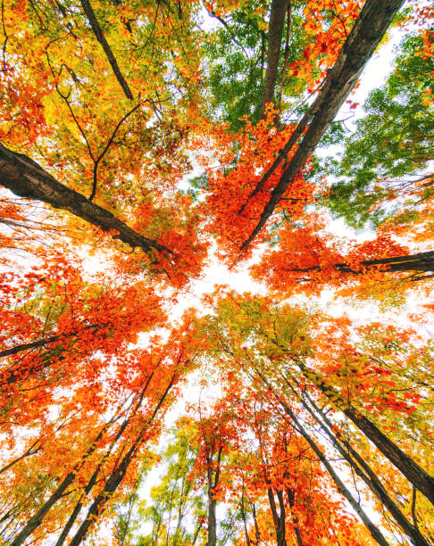 autumn tree low angle view in new england autumn tree low angle view in new england white mountain national forest stock pictures, royalty-free photos & images