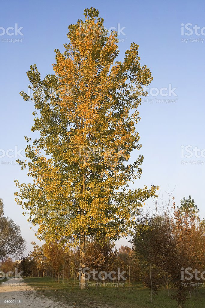 Autumn tree royalty-free stock photo