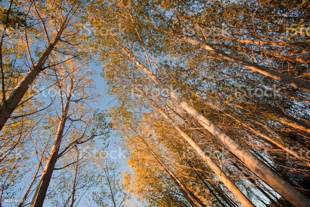 Autumn tree trunks and yellow leaves , blue sky stock photo