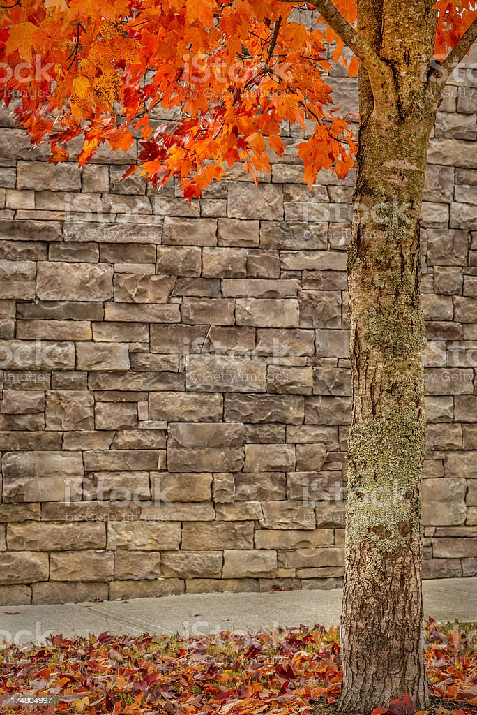 Autumn Tree With OOF Stone Background For Copyspace royalty-free stock photo