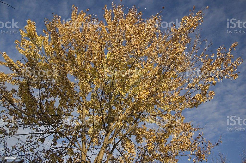 Autunno albero giallo con vita contro il cielo blu foto stock royalty-free