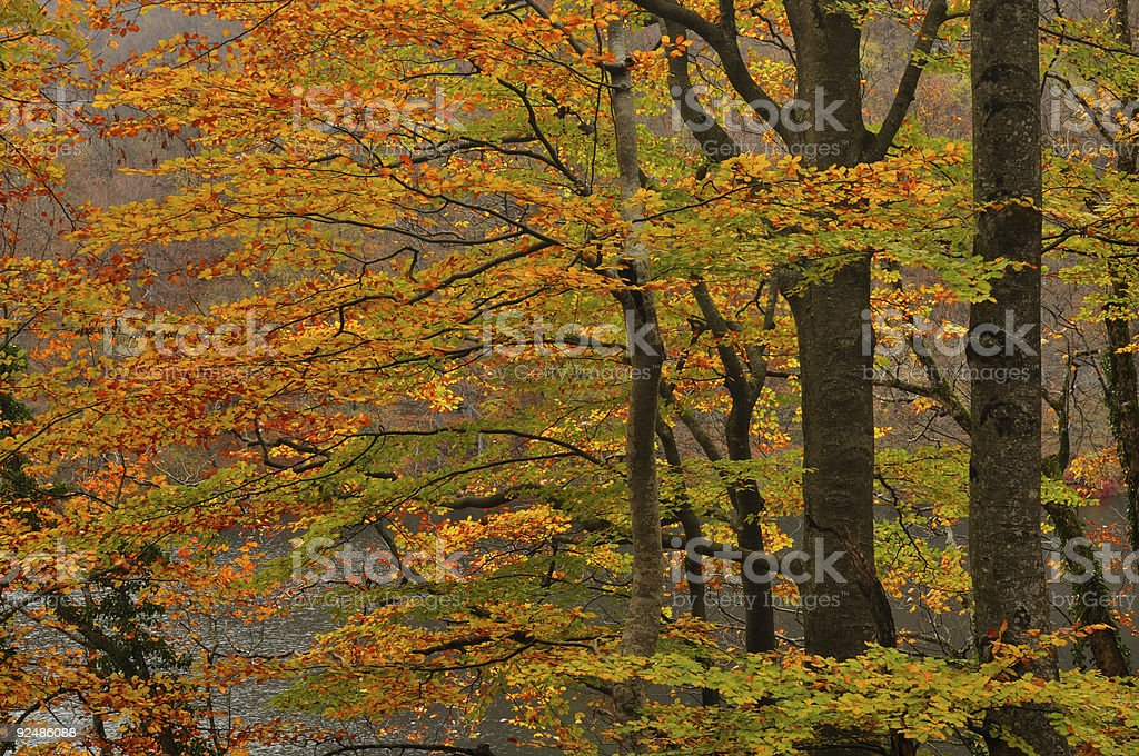 Autumn trees before a lake and forested hill slope royalty-free stock photo