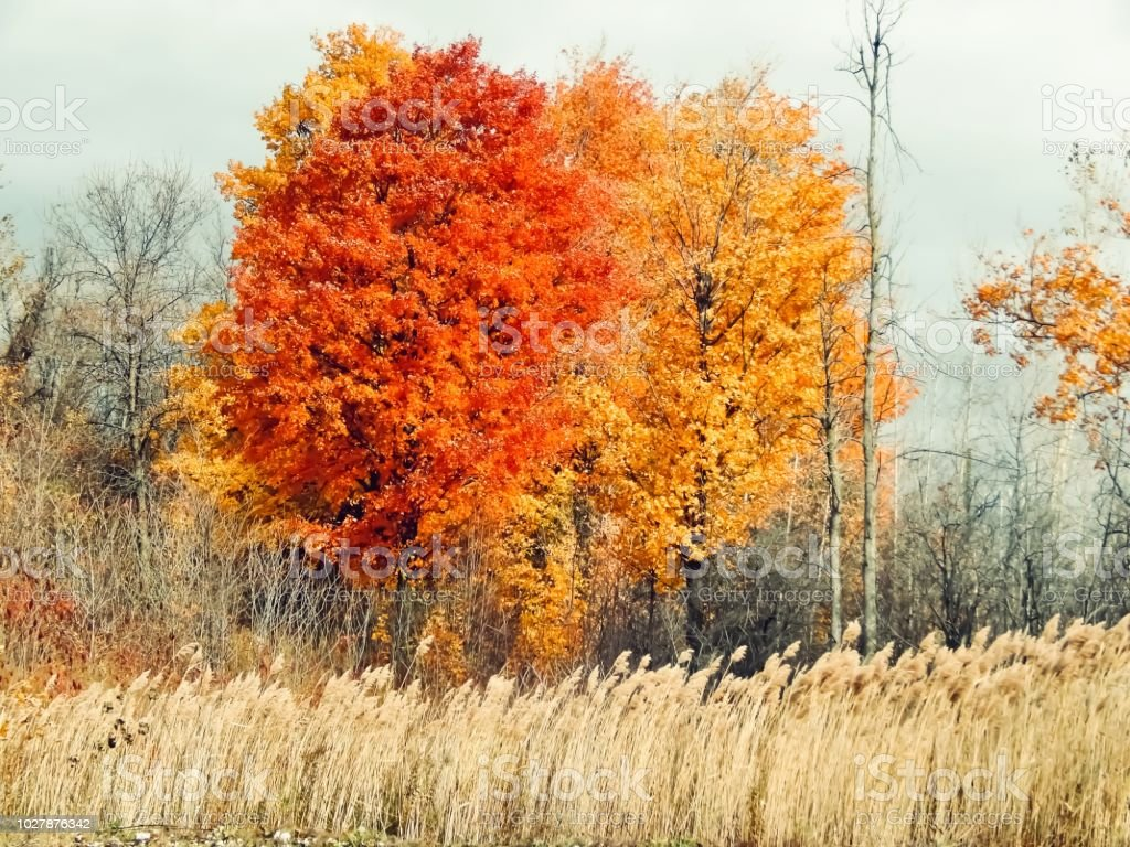 Autumn trees in a grass field stock photo