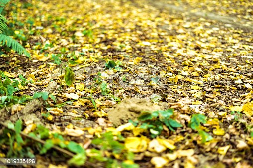 istock autumn trees in the forest with yellow fallen leaves concept 1019335426