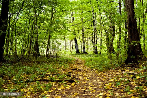 istock autumn trees in the forest with yellow fallen leaves concept 1019335432