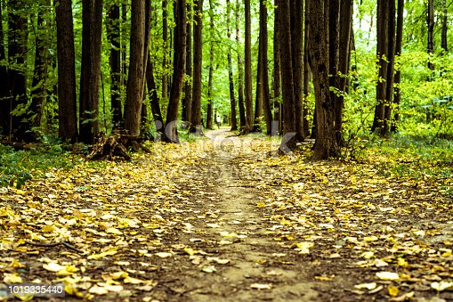 istock autumn trees in the forest with yellow fallen leaves concept 1019335440