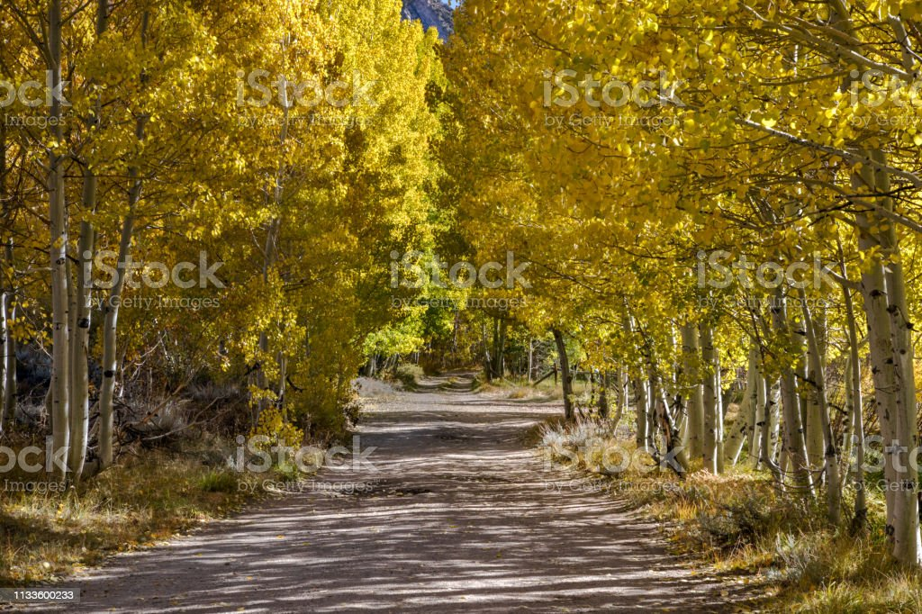 Fall Tree lined dirt road surrounded by yellow and gold tree leaves...
