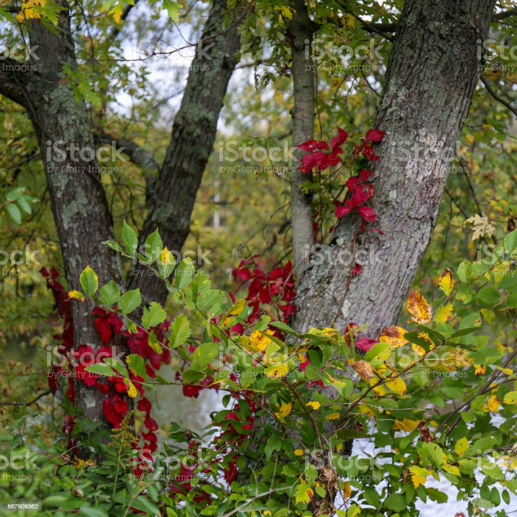 Autumn Trees With Green And Exquisite Deep Burgundy Leaves Stock