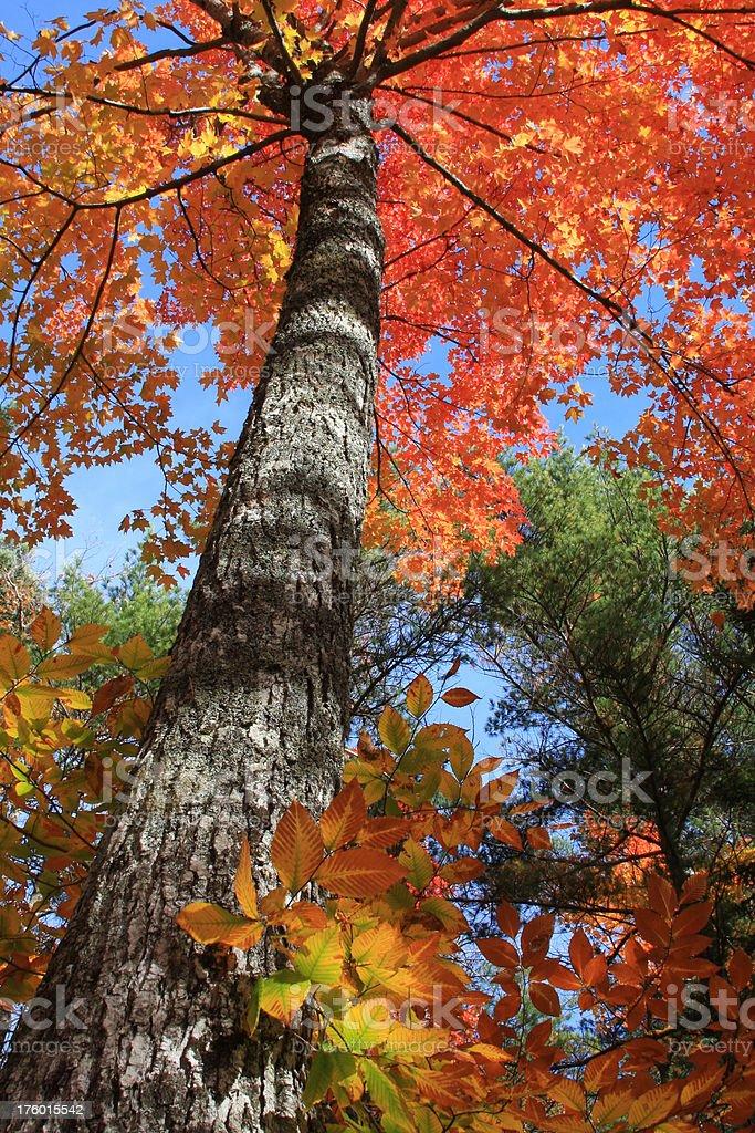Autumn Treetop royalty-free stock photo