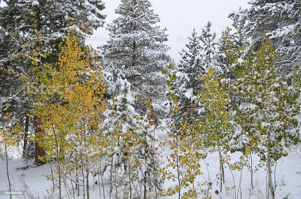 Autumn turns Aspen Trees gold in the snow stock photo