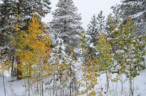Autumn turns Aspen Trees gold in the snow stock photo