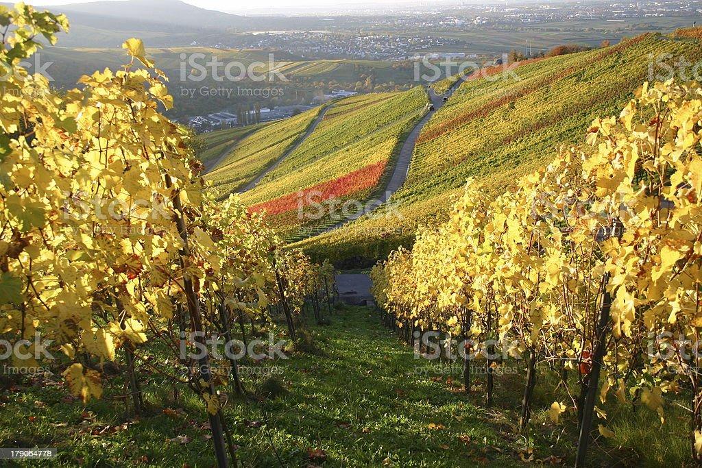 Autumn vineyard - golden path stock photo