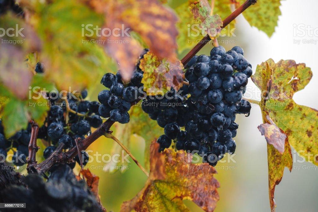 Autumn vineyard, grapes, Growing of grapes, Palava South Moravia, Czech republic stock photo