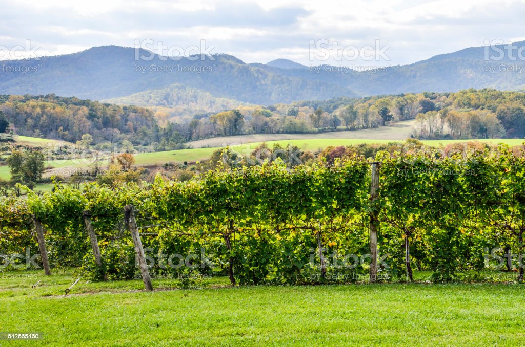 Autumn vineyard hills during in Virginia with yellow trees stock photo
