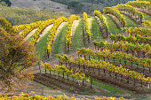 Vineyard landscape in the fall autumn