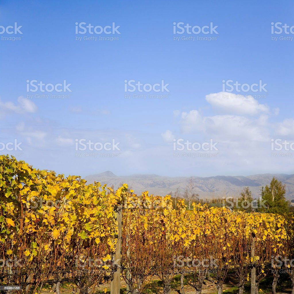 Autumn Vineyard New Zealand royalty-free stock photo