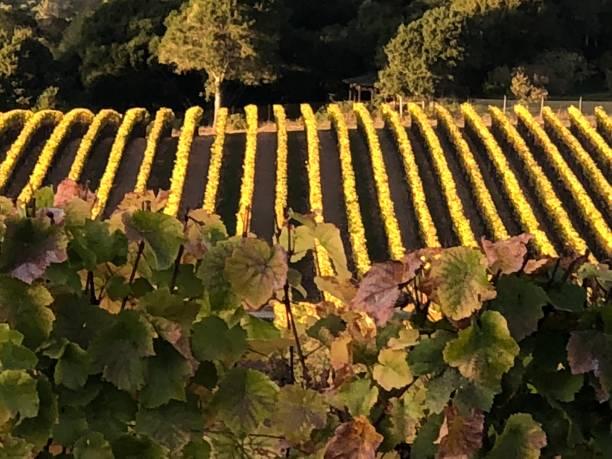 Autumn Vineyard stock photo