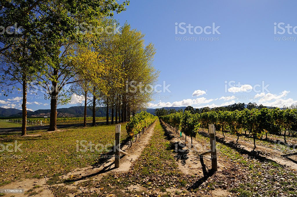 Autumn Vineyard royalty-free stock photo