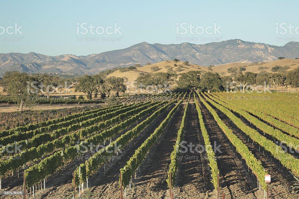 Autumn Vineyard - Santa Barbara stock photo