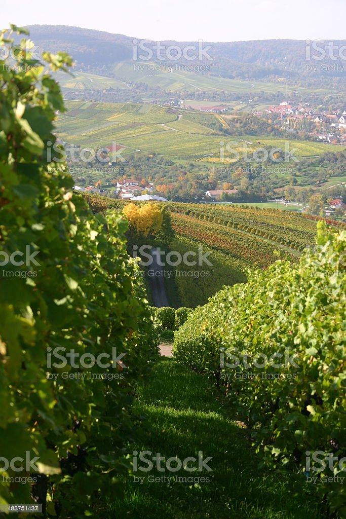 autumn vineyard-1 stock photo