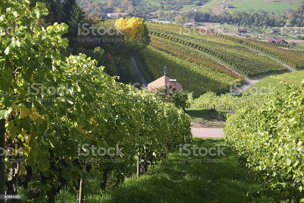 autumn vineyard-2 stock photo